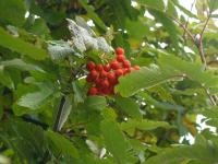 Fruits and leaves of the Swedish Whitebeam