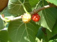 Ripening fruits of the black mulberry